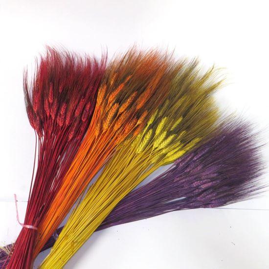 Obrázek z Grano triticum (pšenice) - barevná (svazek)