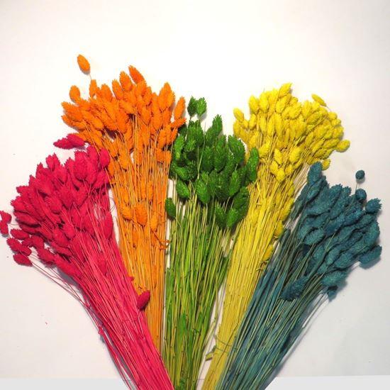 Obrázek z Phalaris - barevný (svazek)