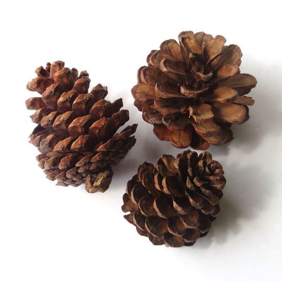 Obrázok z Blue pine - šišky prírodné (20ks)