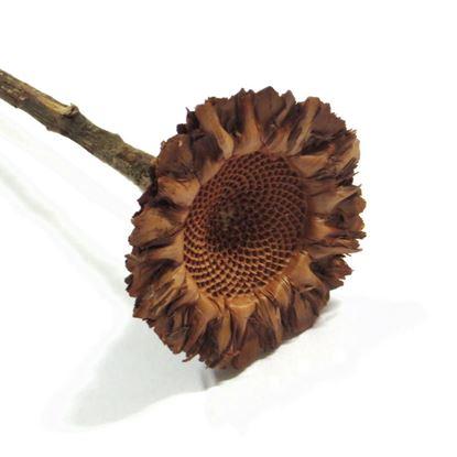 Obrázok z Protea coronata (5ks)